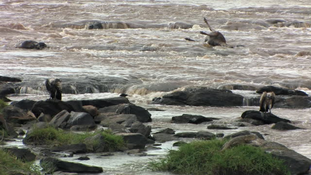 MS, Rueppell's Griffon vulture (Gyps rueppellii), White-backed Vulture (Pseudogyps africanus) and Nile crocodile (Crocodylys niloticus) on rocks in river, wildebeest carcass in background, Masai Mara, Kenya