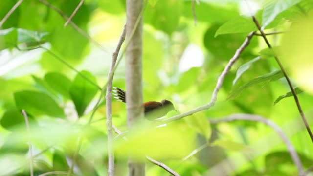 Rufous fantail takes off from tree branch, high speed through vegetation