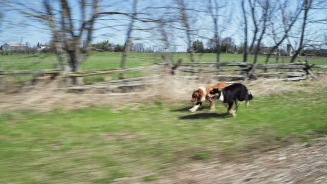 Running Border Collies