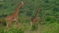 Running giraffes through clearing in Serengeti National Park, Tanzania Available in HD.