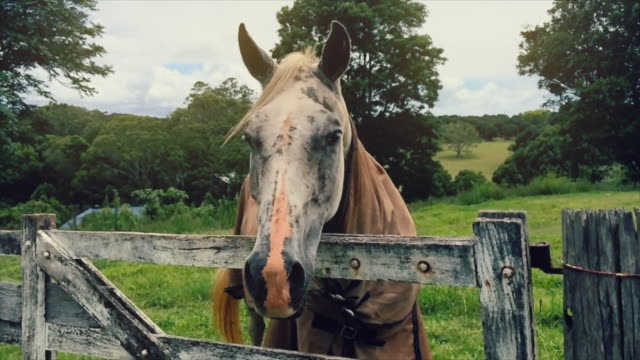 Rural scene of a horse looking to the camera, closing his eyes, in slow motion, Byron Bay