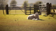 Ländliche sheep farm