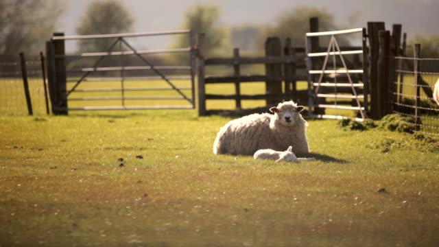 Rural sheep farm