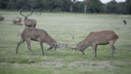 Rutting Red Deer in Richmond Park, London, UK