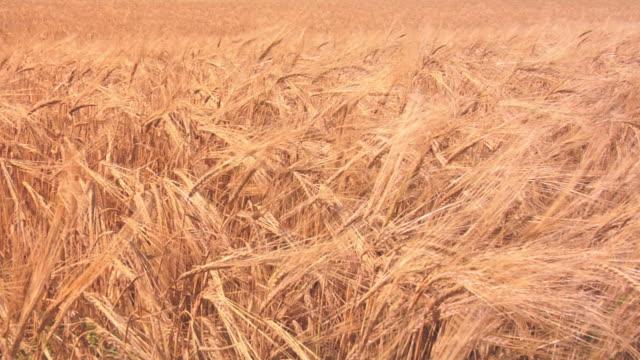 Rye field blowing in the wind.