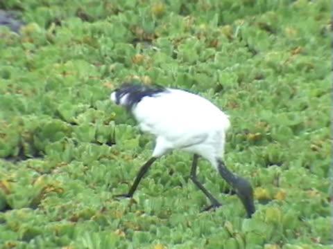 CU PAN Sacred ibis feeding in marsh