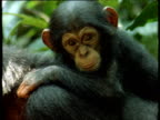 Sad looking baby chimp rides on adult chimpanzee's back through forest