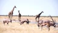 LS Safari animali da specchio d'acqua