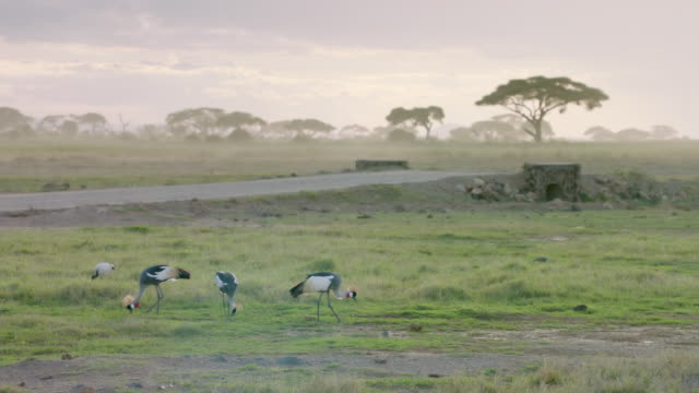 WS Safari vehicle moving on road, ibis and grey crowned cranes grazing in foreground / Kenya