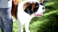 Saint Bernard dog on dog show