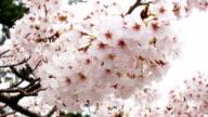 Sakura. Kirschblüten-Japan. Rosa Frühlings Blüte Hintergrund