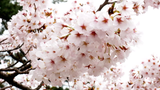 Sakura. Cherry blossoms japan. Pink spring blossom background