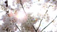 HD: Sakura Kirsche Blüten mit sun beam
