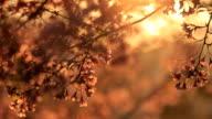 Sakura in sunshine