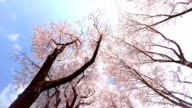 Sakura  - look up at the sky