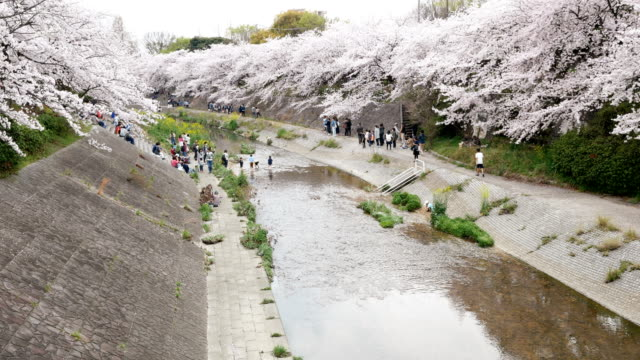 Sakura trees along the cannel at Yamasaki, Nagoya Japan