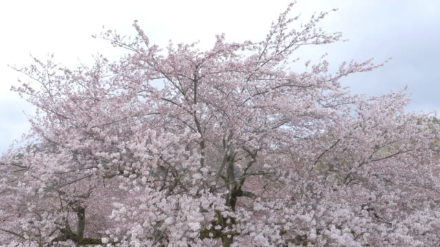 Sakura trees with pink blossoming flowers, Spring in Japan