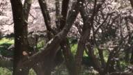 Sakura-fubuki'(Kirschblüten