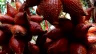 Salak fruits on tree ultra hd.