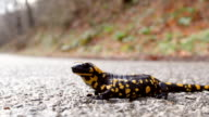 HD 1080 Salamander on the road