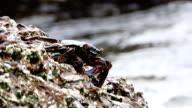 Sally lightfoot crab (Grapsus grapsus) on rocky coast, Galapagos Islands