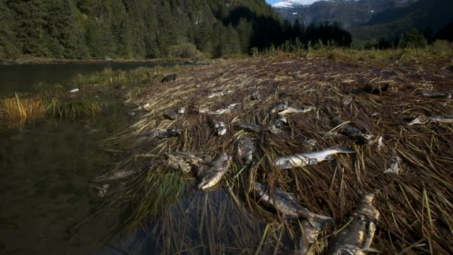 Salmon carcasses exposed on grassy shore as water level falls.