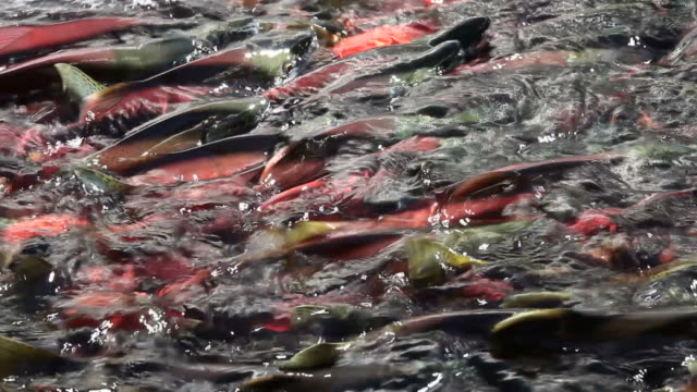 Gruppo di salmone