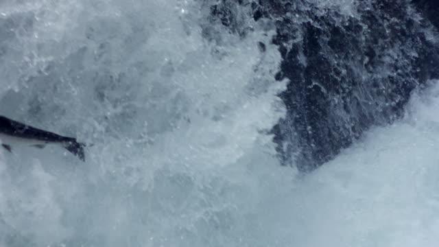 CU SLO MO Salmon leaping up  in stream /  Washington, United States