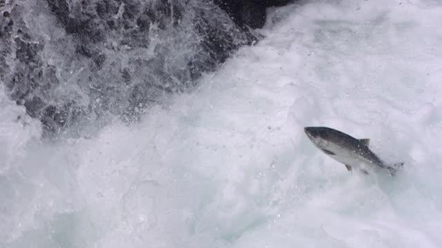 MS SLO MO  Salmon leaping up  in stream /  Washington, United States