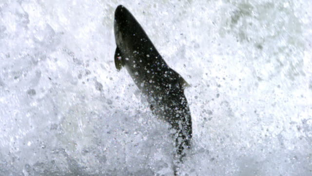 Salmon leaps out of frothing water.