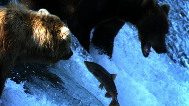 Salmon leaps up waterfall between two Grizzly bears.