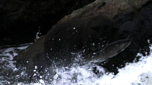 Salmon leaps up waterfall.