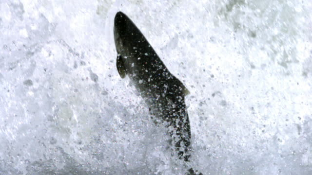 Salmon leaps vertically out of frothing water.