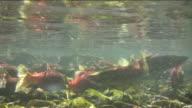 Salmone nuoto in un gruppo numeroso