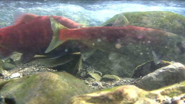Nuoto con artigli di salmone