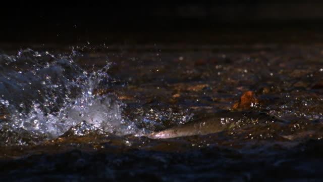 Salmon swims through river shallows.