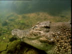 Saltwater crocodile rests on bottom of waterhole then swims away, Northern Territory, Australia