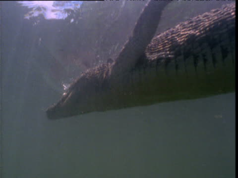 Saltwater crocodile swims at surface of waterhole, Northern Territory, Australia