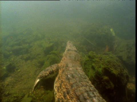 Saltwater crocodile swims in waterhole, Northern Territory, Australia