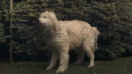 SLO MO, MS, Samoyed shaking off water in field, Mamaroneck, New York, USA