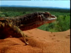 Sand goanna basks on sand dune overlooking outback, Northern Territory, Australia