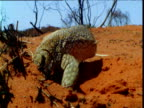 Sand goanna burrows into sand in outback, Northern Territory