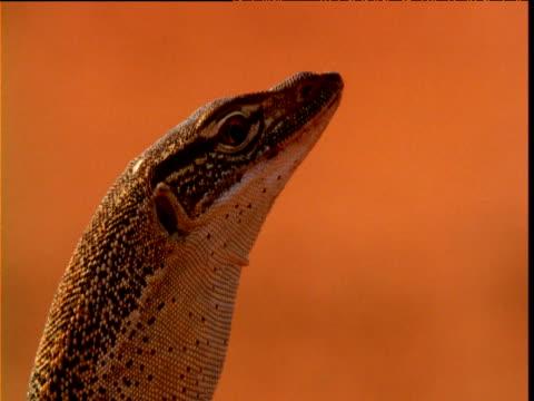 Sand goanna looks around in red desert, Northern Territory, Australia
