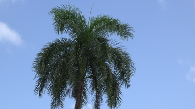 Santa Clara, Cuba: Royal palm in blue clear sky, the tree is the Cuban National Tree (symbol)