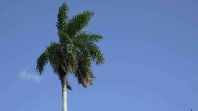 Santa Clara, Cuba: Royal Palm tree in beautiful blue clear sky