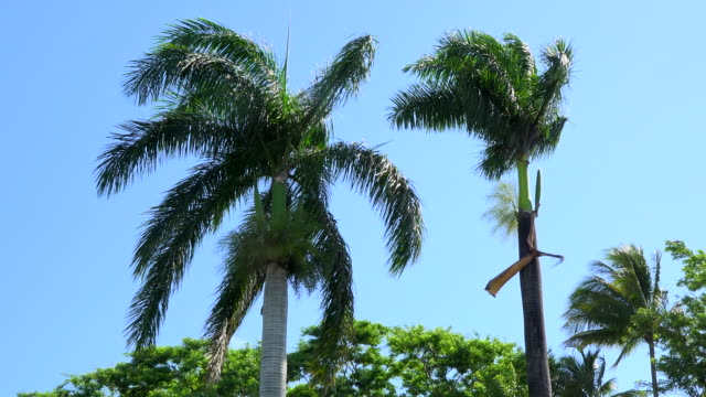 Santa Clara, Cuba: Royal Palms or Roystonea regia, Cuban National Tree, in blue sky.