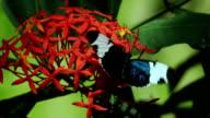 Sapho longwing butterfly feeding