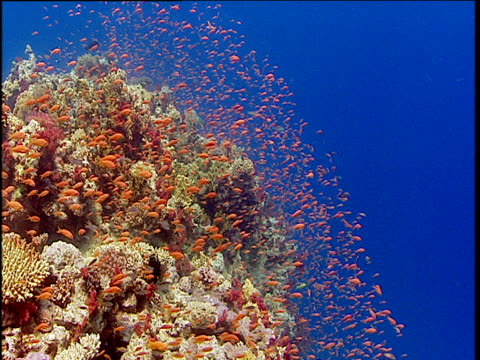 Scalefin anthias shoal emerges from security of coral reef, Red Sea