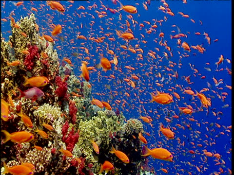 Scalefin anthias shoal swims near security of coral reef, Red Sea