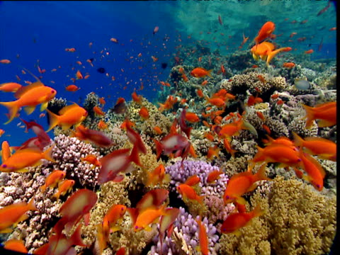 Scalefin anthias shoal swims over coral, Red Sea